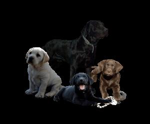 Graves Labrador Logo